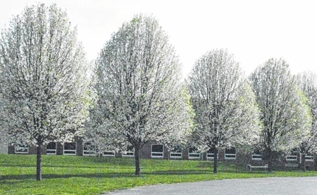 Ornamental Pears