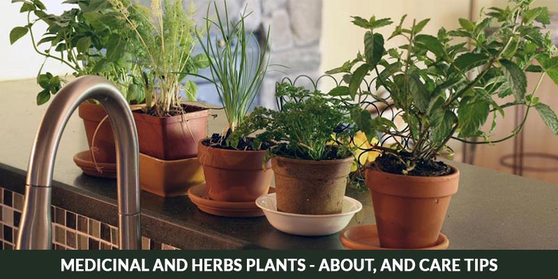Herb Plant Care and Tips