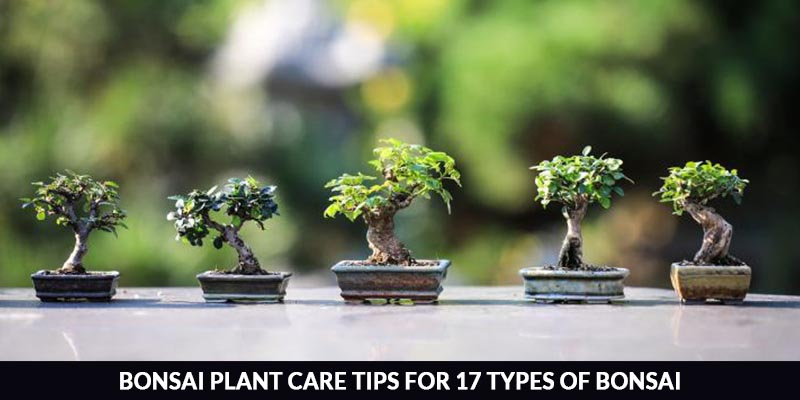 Care And Tips For 17 Types Of Bonsai