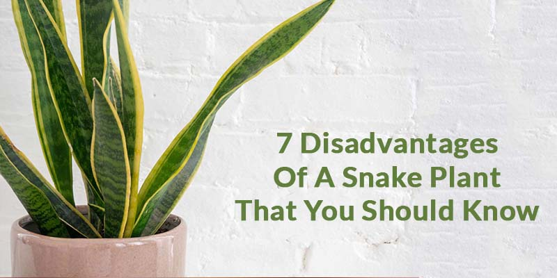 7 Disadvantages Of A Snake Plant That You Should Know