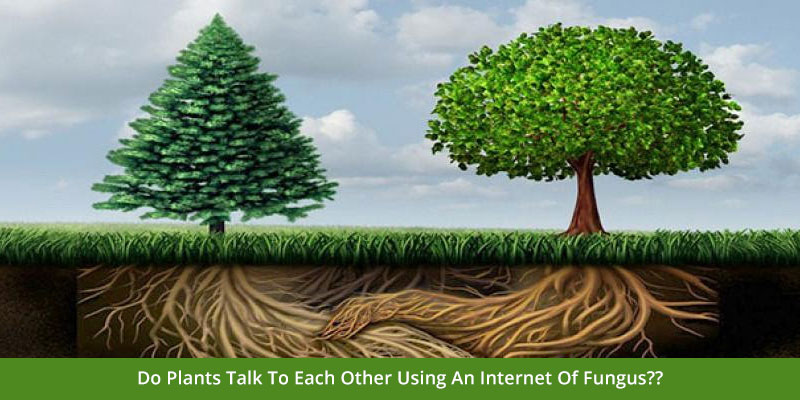 Do Plants Talk To Each Other Using An Internet Of Fungus??