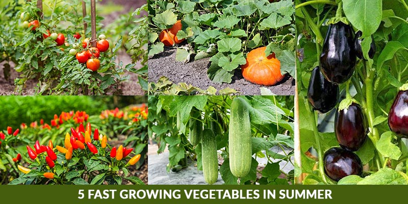 5 Fast Growing Vegetables in Summer