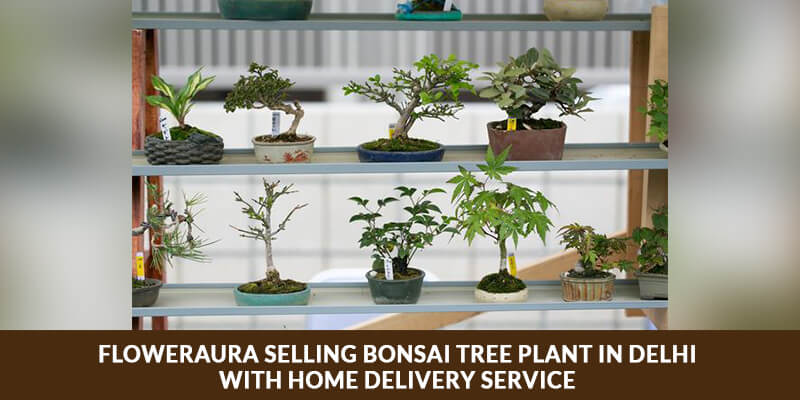 FlowerAura Selling Bonsai Tree Plant in Delhi with Home Delivery Service