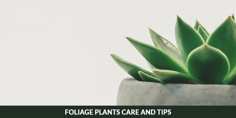 Foliage Plants Care and Tips