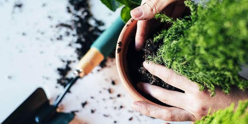 Good Luck Plants Care and Tips