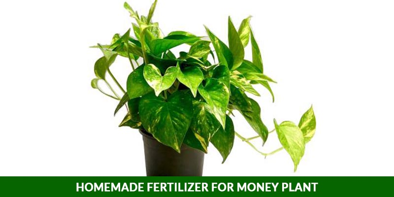 Homemade Fertilizer for Money Plant