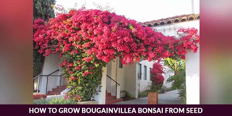 How To Grow Bougainvillea Bonsai From Seed