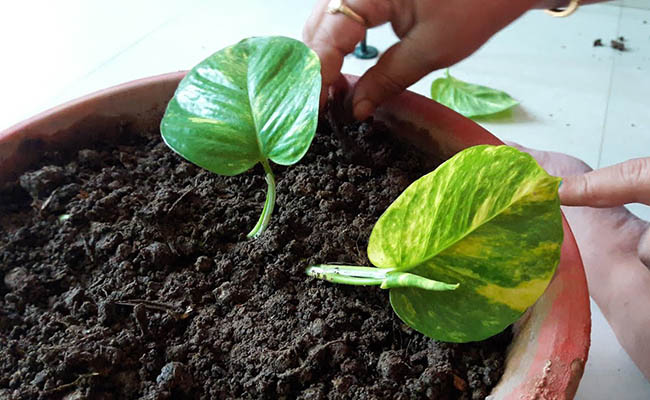 How to grow money plant in soil?