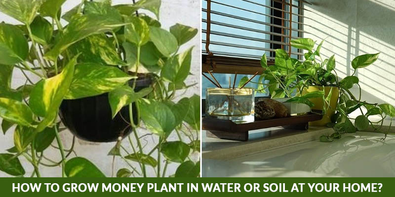 How to Grow Money Plant in Water Or Soil At Your Home?