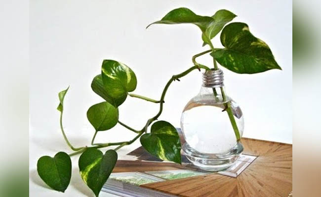 How to grow money plant in water?