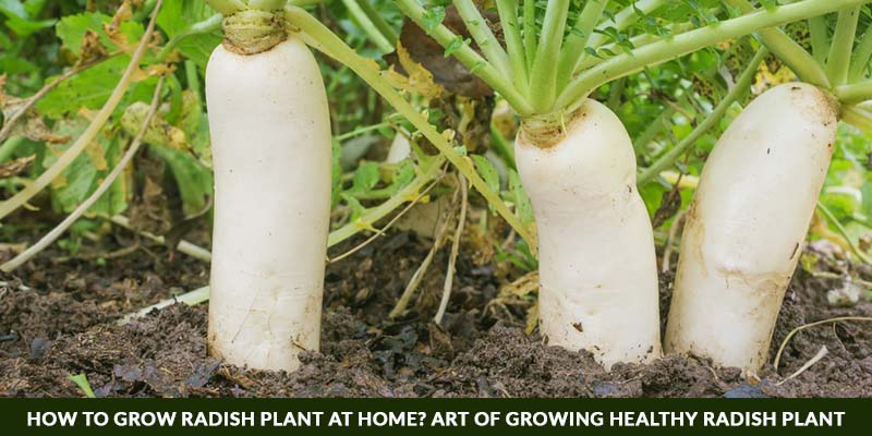 How To Grow Radish Plant At Home? Art of Growing Healthy Radish Plant