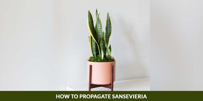 How to propagate sansevieria