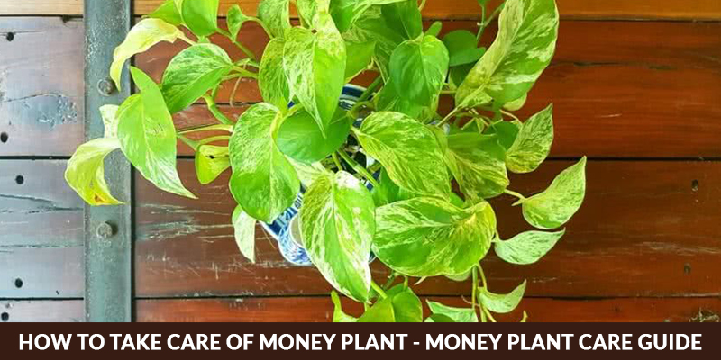 How To Take Care Of Money Plant - Money Plant Care Guide