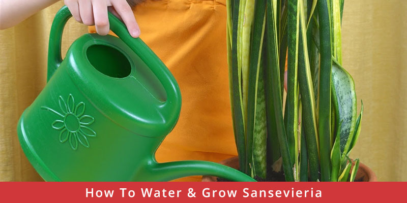 How To Water & Grow Sansevieria