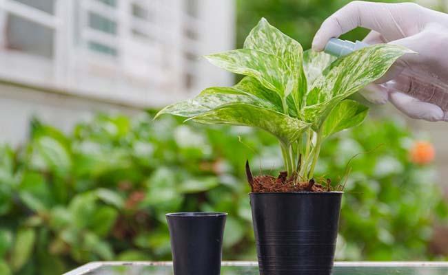 How To Make Money Plant Bushy