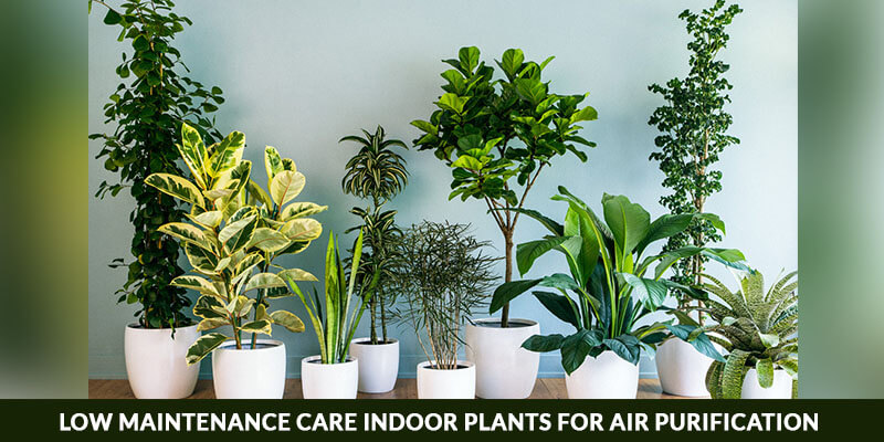 Low Maintenance Care Indoor Plants for Air Purification