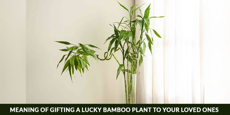 Meaning Of Gifting A Lucky Bamboo Plant To Your Loved Ones