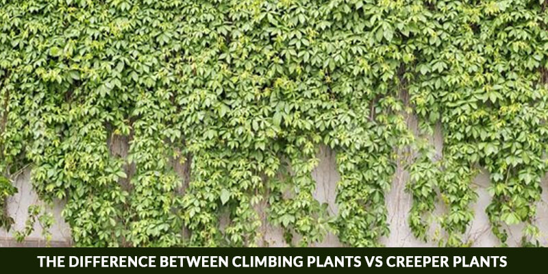 The Difference Between Climbing Plants and Creeper Plants