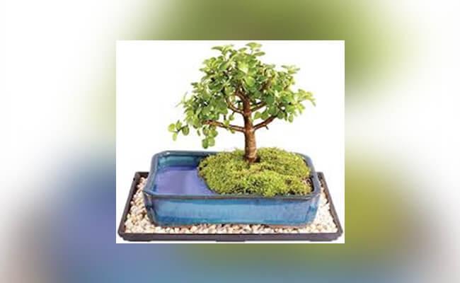 Tips To Grow Bonsai In Water