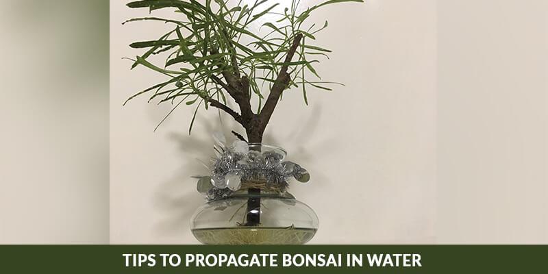 Tips To Propagate Bonsai In Water