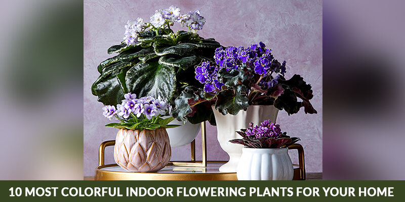 10 Most Colorful Indoor Flowering Plants for your Home