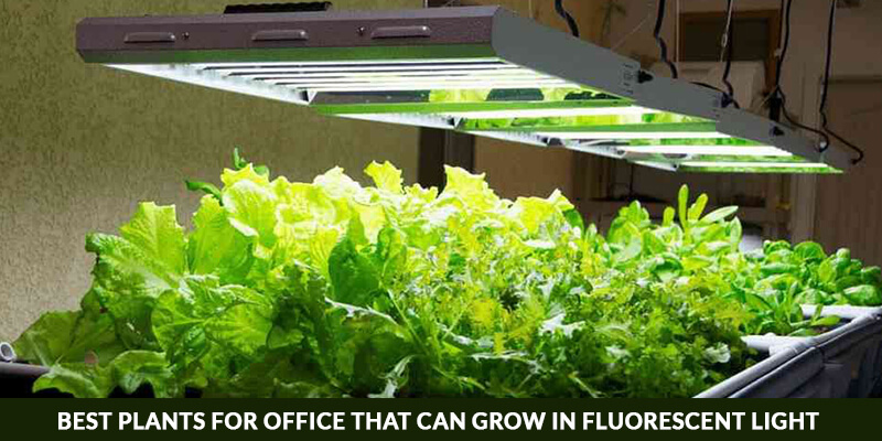 Best Plants For Office That Can Grow In Fluorescent Light