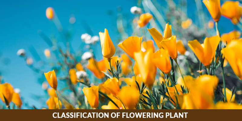 Classification of Flowering Plant