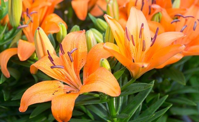 Orange lily plant