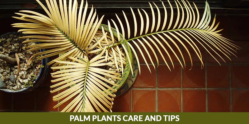 Palm Plant Care and Tips