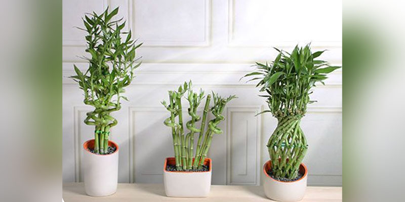 Ribbon Plant Care And Tips