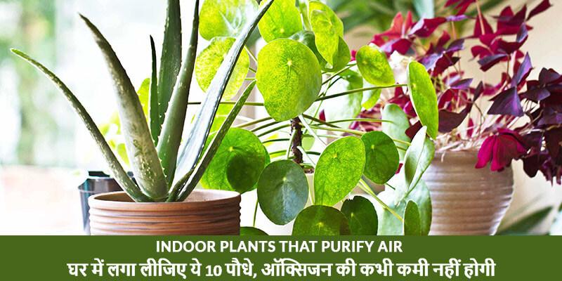 Indoor Plants that Purify Air - घर में लगा लीजिए ये 10 पौधे, ऑक्सिजन की कभी कमी नहीं होगी