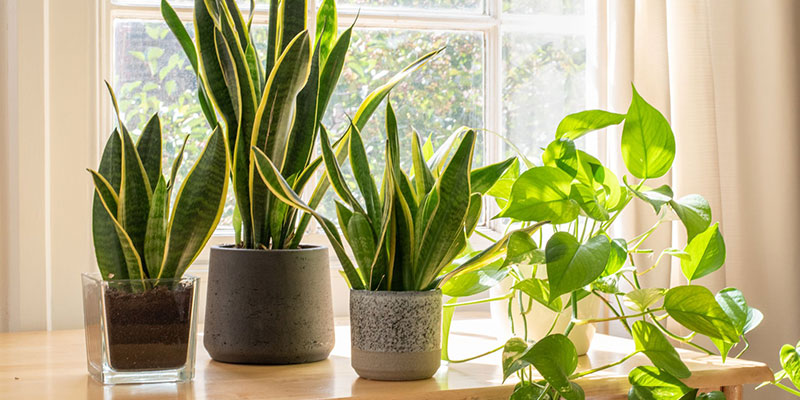 NASA Recommended 5 Best Indoor Plants To Improve Indoor Air Quality