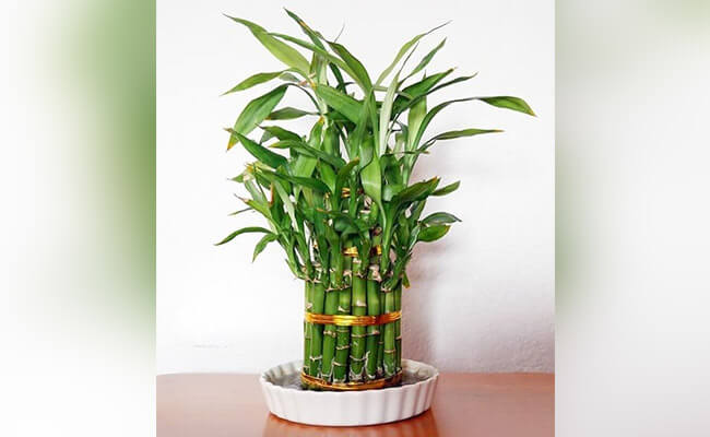 10 Awesome Home Decor Ideas With Lucky Bamboo Plants