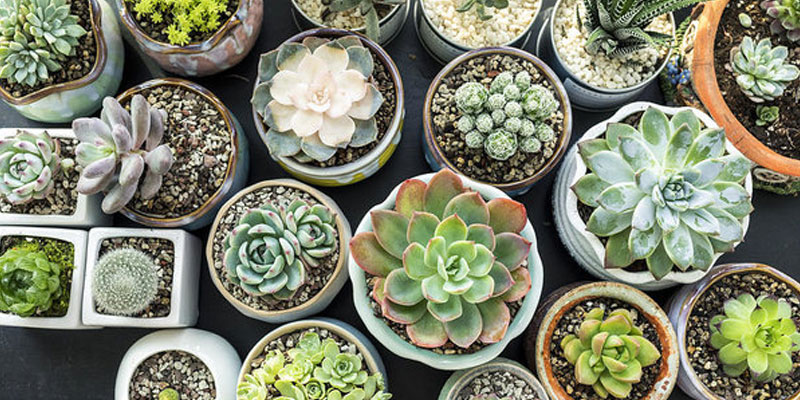 Succulent Care and Tips