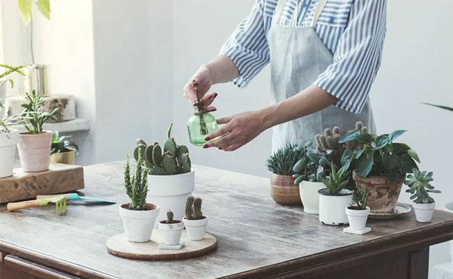 Myth: Succulents Only Need Some Tiny Drops Of Water