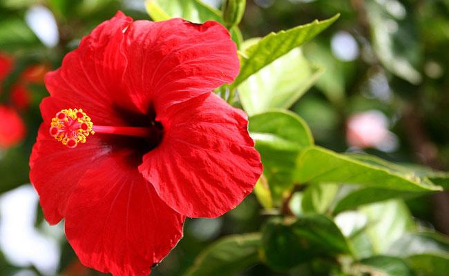 Tubular Hibiscus