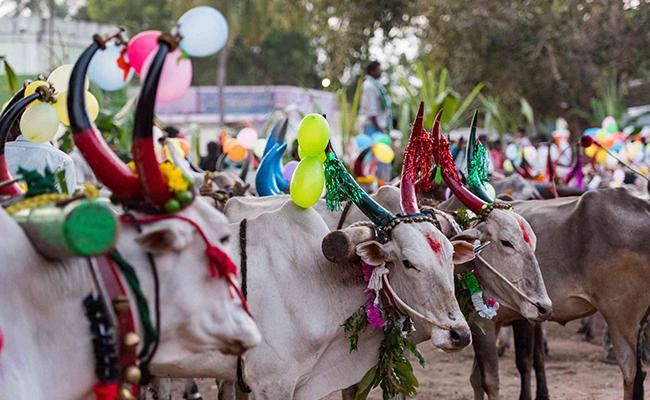 honed horns of bulls