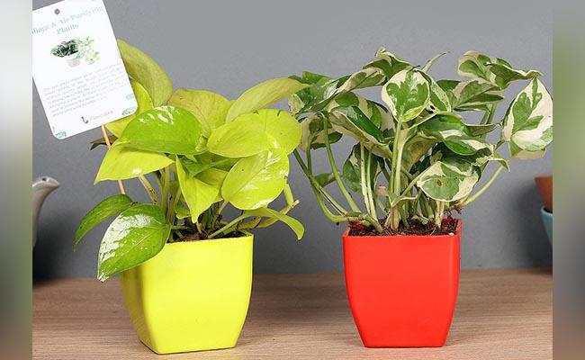 Combo Of Indoor Plants