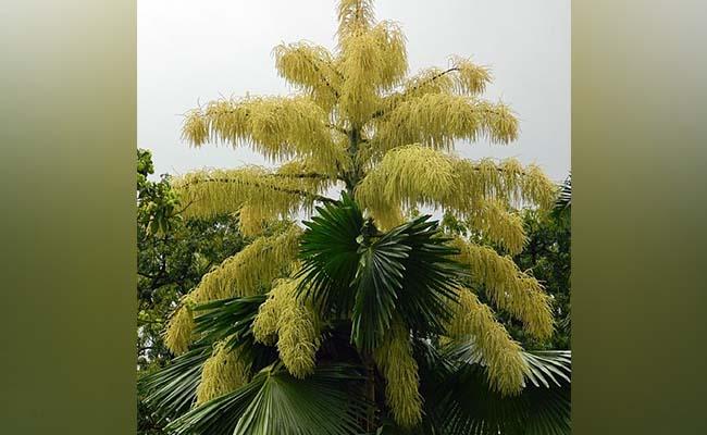 Talipot palm