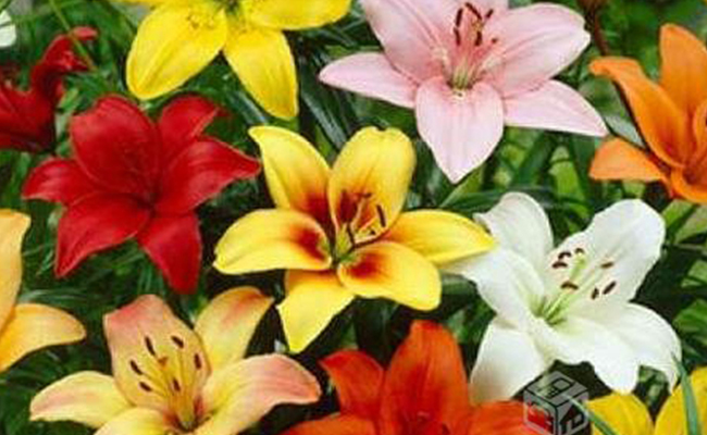 different colours of lily flowers