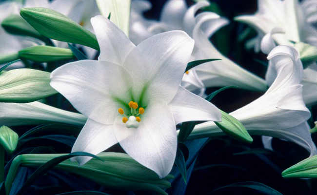 lily excellent medicinal properties