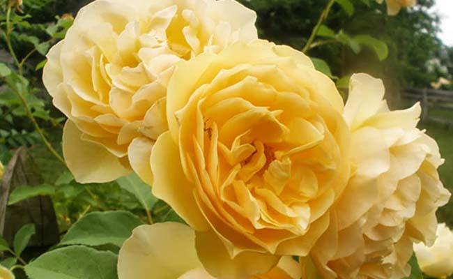 Thomas rose
