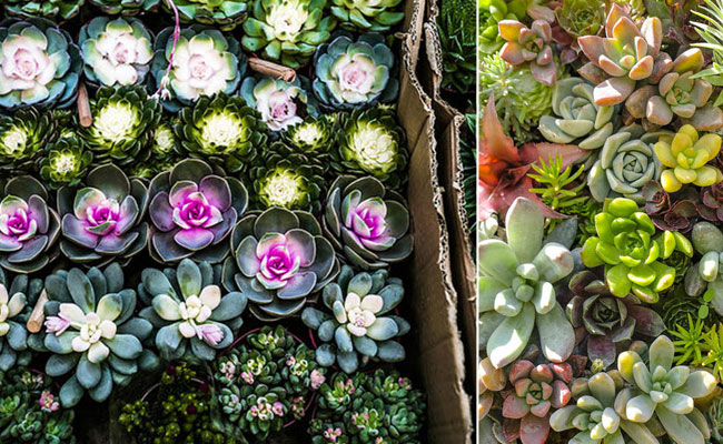 Succulents for Mothers Day Gift