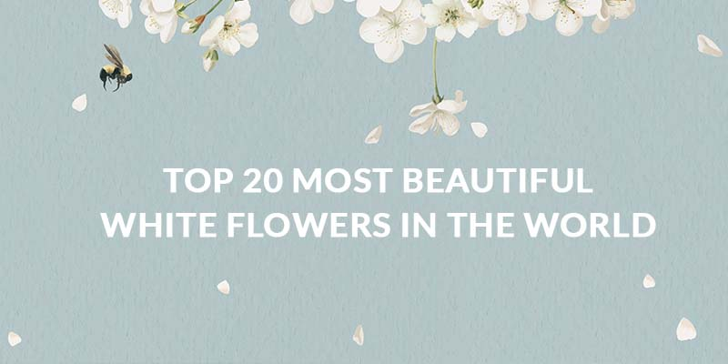 Top 20 Most Beautiful White Flowers in the World