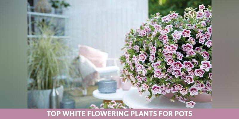 Top White Flowering Plants for Pots