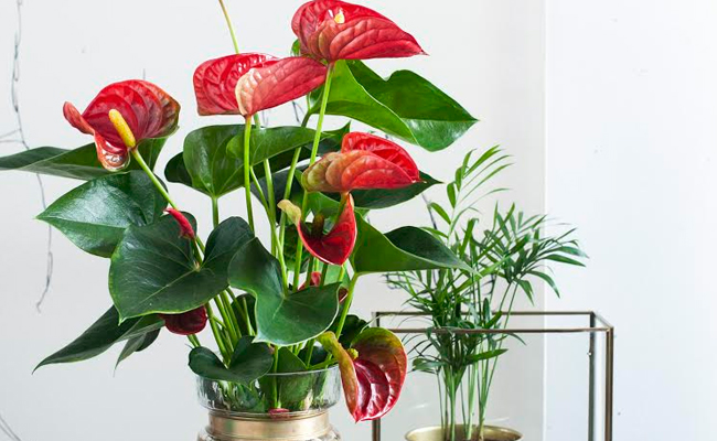 anthurium flowers online