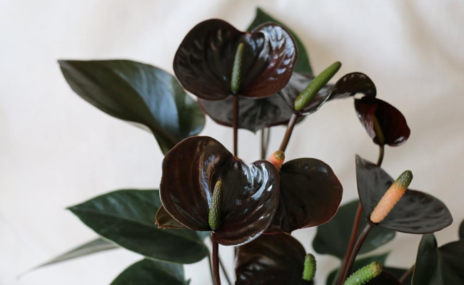 black anthurium