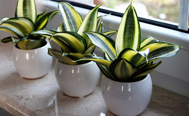 Snake Plants for Diwali