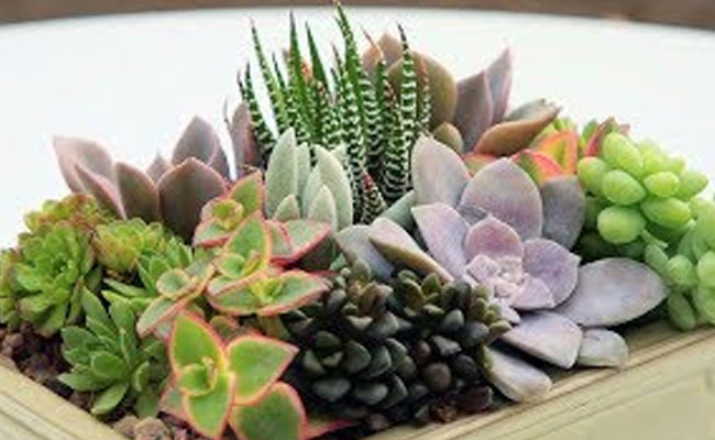 Bonsais/ Succulents